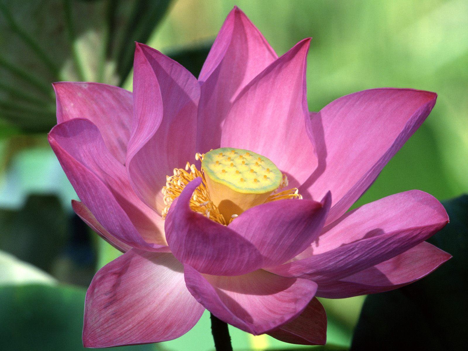 Zachariah Isabel Lotus Flowers